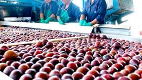 Crece la exportación de ciruela a China