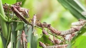 Invasión de langostas: Corrientes y Santa Fe temen por sus plantaciones