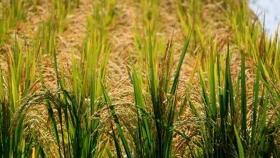 Santa Fe presenta el primer arroz Clearfield doble carolina del país