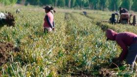 Cómo están resolviendo la mano de obra para la cosecha del ajo