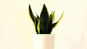 Cómo cuidar la Sansevieria: consejos y remedios caseros