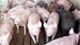 Recomiendan granjas porcinas inteligentes y no mega factorías