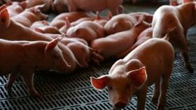 El cerdo arrancó el año con el pie derecho: Siguen firmes las exportaciones y el consumo de carne porcina