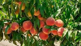 Innovaciones en fruticultura: variedades y precocidad