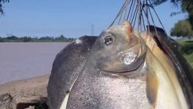 Por primera vez, cosechan pacúes criados en cautiverio en el Río Colastiné