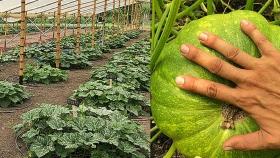 Riego determina características del fruto en cultivos de zapallo
