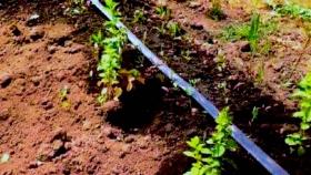 Mantener la humedad, pero sin saturar: ¿Cómo realizar el riego en la huerta agroecológica?