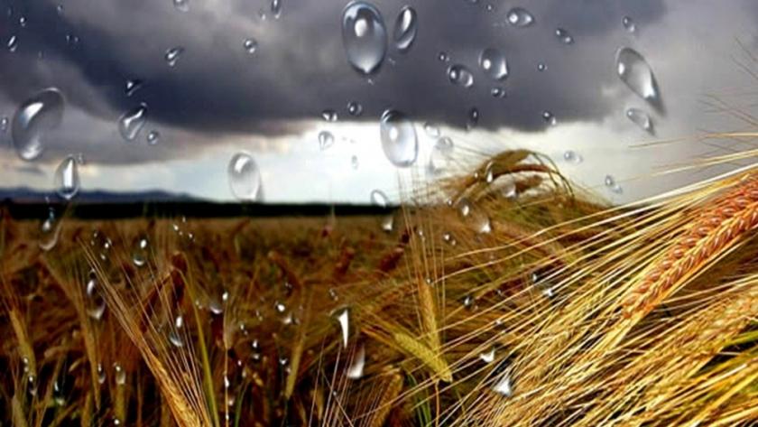 Las lluvias de las últimas semanas salvaron las campañas de trigo y cebada