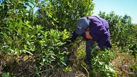 Yerba mate : pequeños productores se unen para industrializar hoja verde