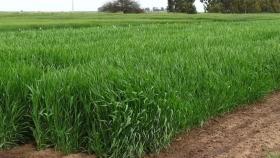 Cebada pastoril: verdeo invernal temprano para producir carne y leche