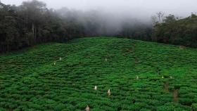 Así se cultiva y produce té protegiendo los ecosistemas en el Valle