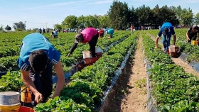 Peligra la cosecha de frutillas
