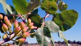 Pistachos: crece el cultivo en Cuyo y ya lo ven como el de mayor proyección en zonas áridas