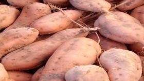 Cómo lograr un buen rendimiento de batata