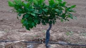 El Chaco ampliará la superficie de siembra para la producción de pomelo rosado