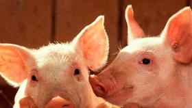 Del corral al mostrador: productores porcinos avanzan en la cadena