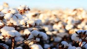 Afecta a la producción de algodón el corte de la cadena de pagos