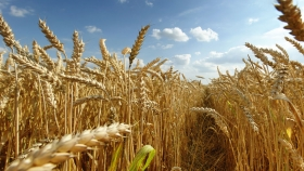 Bajan los precios de exportación del trigo ruso debido al aumento de la oferta interna