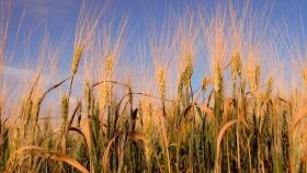 El trigo busca incrementar rendimiento y calidad