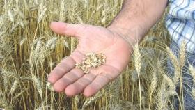 La calidad de los cereales franceses caen drásticamente después de una ola de frío y sequía