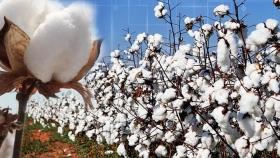 La industria del algodón no está preparada para la amenaza del cambio climático