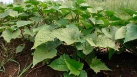 Cómo obtener plantines de batatas para el cultivo familiar