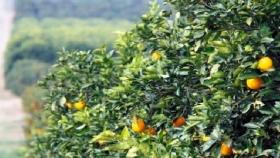 La produccion de citricos cayó un 40 %