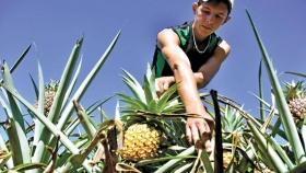 El ananá en tierra colorada