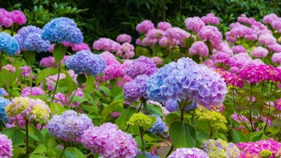 Consejos para cultivar y propagar hortensias en casa