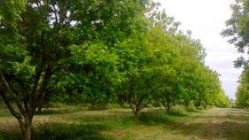 Avanza la plantación de nogales pecán en Corrientes