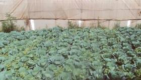 Plantación de variedades de repollo en invernadero. La col