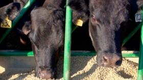 NOA: Producirán en Tucumán levaduras proteicas para engordar ganado con derivados de la caña de azúcar