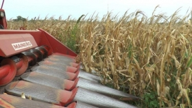 Maíz con pocas lluvias y desarrollo dispar: cómo calibrar la cosechadora para reducir pérdidas