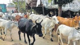 Tecnología de semen sexado para ayudar a los ryots de ganado en Karimnagar a obtener buenas ganancias