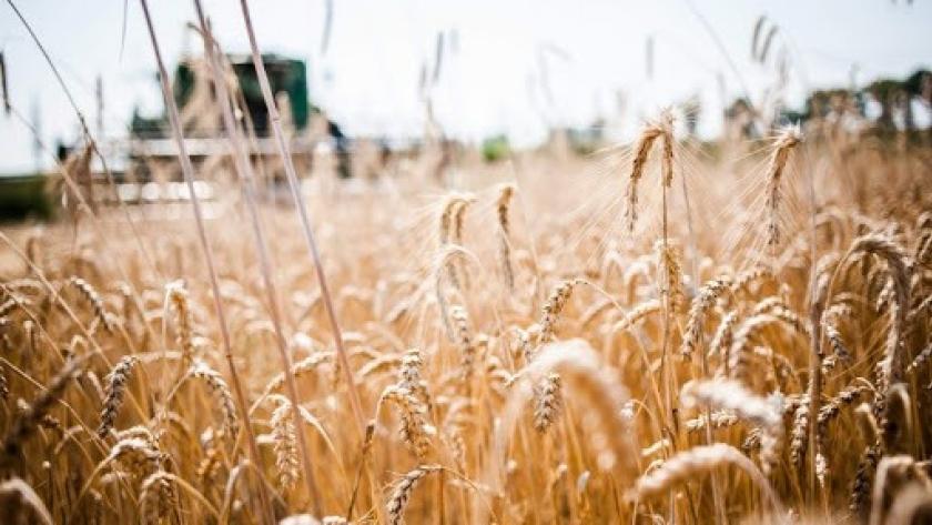 Trigo: bajos rindes al inicio de la cosecha