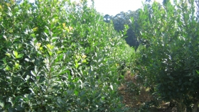 Rescatan una yerba mate ancestral con 9 veces menos cafeína que la tradicional