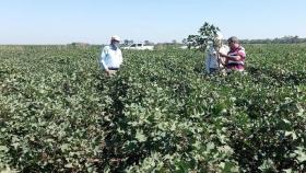 Producción realizó un nuevo relevamiento de semilleros de algodón