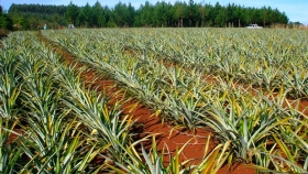 Técnicos del Agro recomiendan hacer mudas de ananá a partir de yemas o trozos de tallo