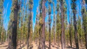 San Rafael es el departamento que tiene mayor cantidad de cortinas forestales en Cuyo