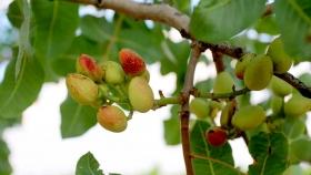 Pistacho: el INTA logró la primera polinización artificial para obtener semillas híbridas