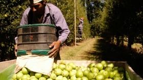 Productores de peras y manzanas podrán acceder a beneficios impositivos de AFIP