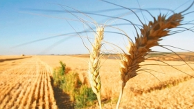 Brasil en busca de más trigo