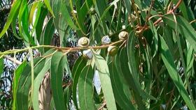 Eucalyptus con valor agregado