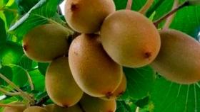 El kiwi se presenta como una alternativa productiva para los valles de Tucumán