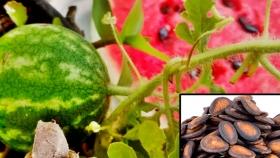 ¿Cómo germinar y plantar una semilla de sandía?
