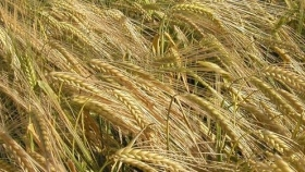 Mario Cattaneo, especialista en cebada, explicó las razones que empujan una suba de casi 30% en la superficie dedicada a ese cultivo