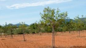 Un cultivo sin aprovechar y que multiplica por siete el valor de la aceituna