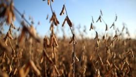 Los cultivos de soja presentan el menor registro de lluvias de los últimos 20 años