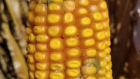 Evalúan el control biológico de hongo en la espiga del maíz, que produce compuesto cancerígeno