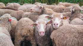 Suplementación y alimentación en ovinos